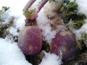 شلغم در سبزیجات زمستانی